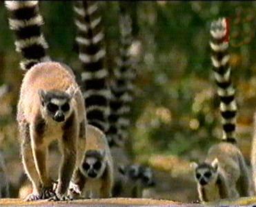 El juego de los animales Y LAS  FRUTAS - Página 4 Lemures_vienen
