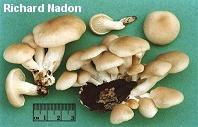 SƯU TẬP NẤM - Page 2 Nadon_pleurotus_pulmonarius_02_thumb