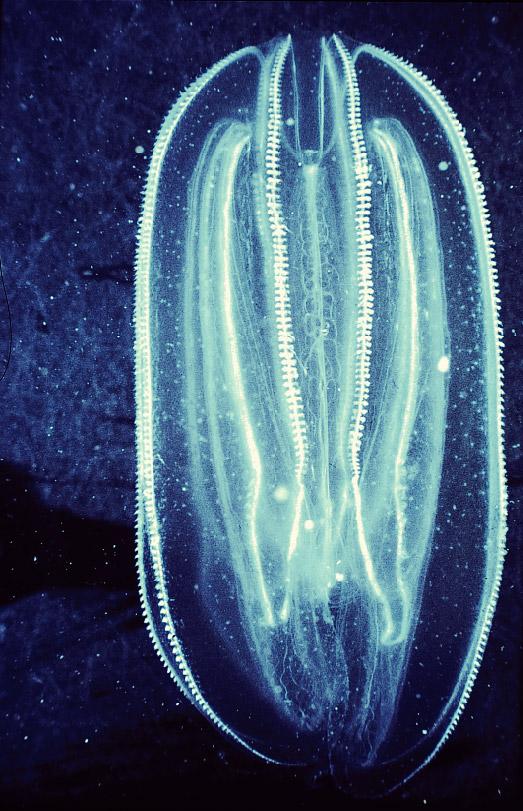 Işık Üreten Comb Jelly Hayvanı Comb%20jelly