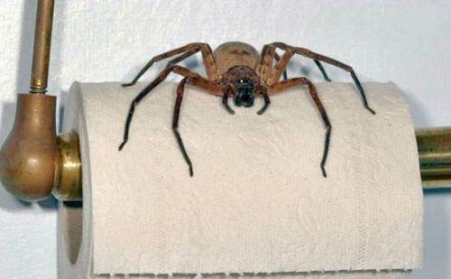 O lado certo do papel higiênico. Spider.thumbnail