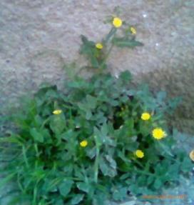 ماذا تعرف عن نبات الطرخشقون Azhar6