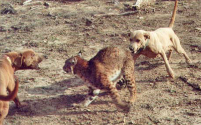 Bullmastiff VS Lince vermelho Red%20lacys%20bobcat