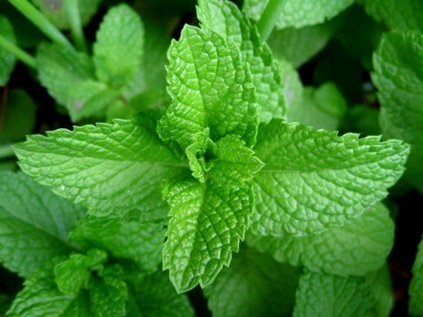 12 Healing Herbs You Need to Grow in Your Medicinal Garden Peppermint-600x450