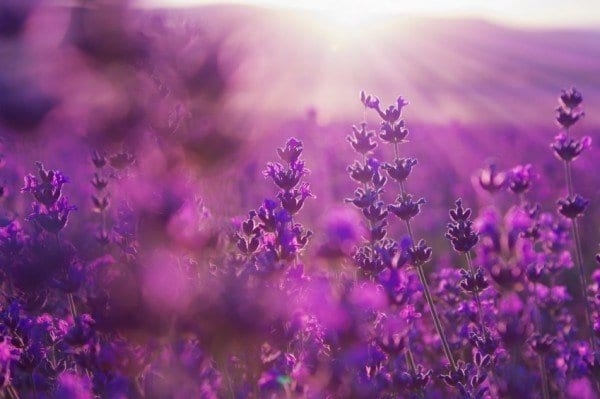 12 Healing Herbs You Need to Grow in Your Medicinal Garden Lavender-flowers-600x399