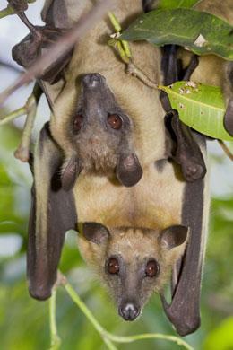 West africanos en situación de riesgo de epidemias de murciélagos News545-i1.0