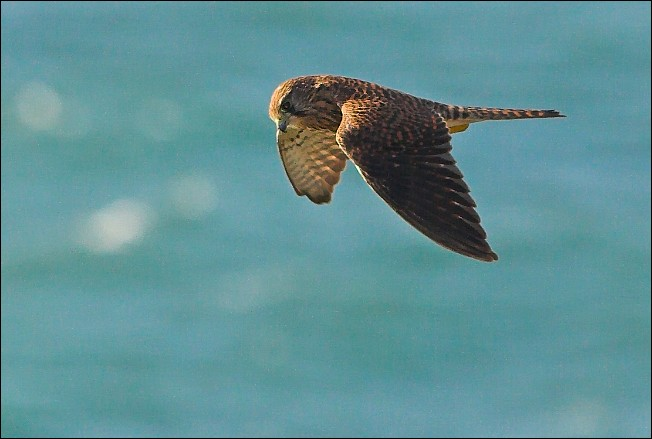 Falconiformes. sub Falconidae - sub fam Falconinae - gênero Falco - Página 3 Postolka_0948