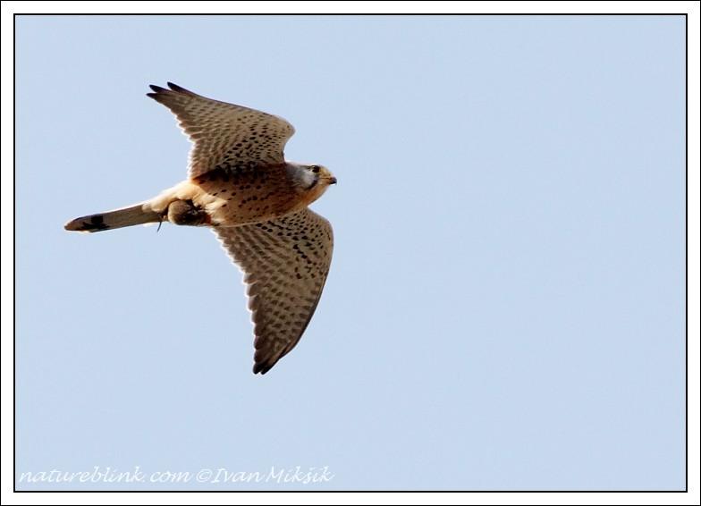 Falconiformes. sub Falconidae - sub fam Falconinae - gênero Falco - Página 3 Postolka_5707
