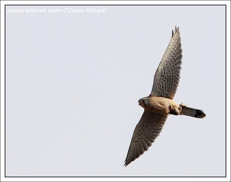 Falconiformes. sub Falconidae - sub fam Falconinae - gênero Falco - Página 3 Postolka_5713