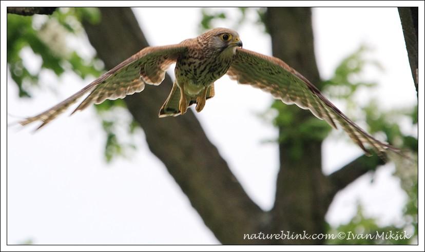 Falconiformes. sub Falconidae - sub fam Falconinae - gênero Falco - Página 3 IMG_7909