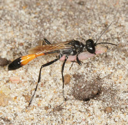 Bộ sưu tập côn trùng 2 - Page 2 Ammophila-pubescens-2