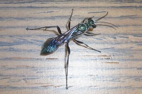 Bộ sưu tập côn trùng 2 - Page 2 DSC03141%20(12)