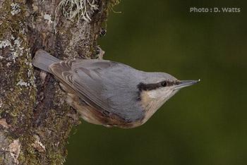 oiseau Martin 25 janvier trouvé par Ajonc Vign_sitelle