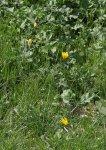tulipe sauvage  Tulipa_sylvestris1_regis_mathon-e9da3