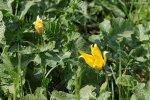 tulipe sauvage  Tulipa_sylvestris2_regis_mathon-ca979