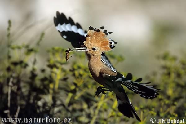 طائر الهدهد Hoopoe-173