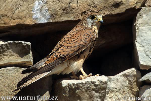 Falconiformes. sub Falconidae - sub fam Falconinae - gênero Falco - Página 3 Kestrel-1764