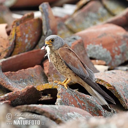Falconiformes. sub Falconidae - sub fam Falconinae - gênero Falco - Página 2 Lesser-kestrel-xxx10a901