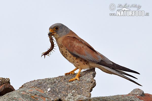 Falconiformes. sub Falconidae - sub fam Falconinae - gênero Falco - Página 2 Lesser-kestrel-xxx10a905