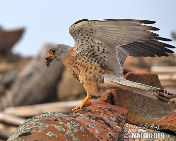 Falconiformes. sub Falconidae - sub fam Falconinae - gênero Falco - Página 2 Lesser-kestrel-xxx10d111