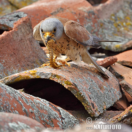 Falconiformes. sub Falconidae - sub fam Falconinae - gênero Falco - Página 2 Lesser-kestrel-xxx10d209