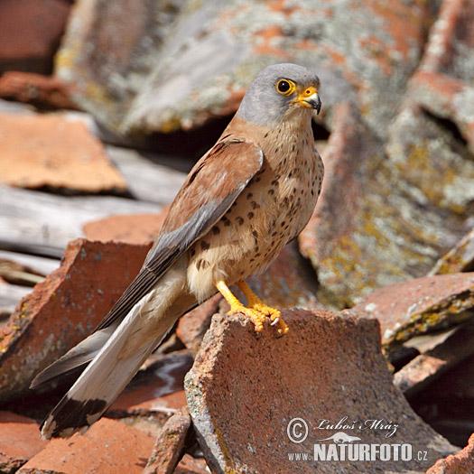 Falconiformes. sub Falconidae - sub fam Falconinae - gênero Falco - Página 2 Lesser-kestrel-xxx10d225
