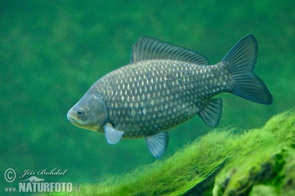 Babuška Babuska-riba-80021