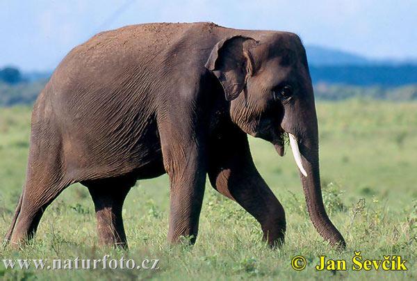 Jennifer Aniston on GQ! Asian-elephant--elephas-maximus-1