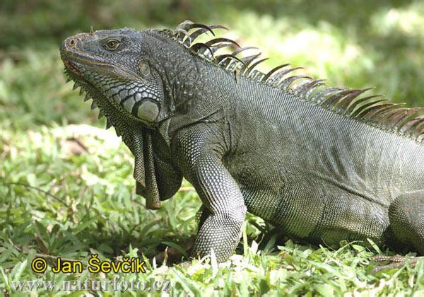 Cria de IGUANAS Green-iguana--iguana-iguana-1
