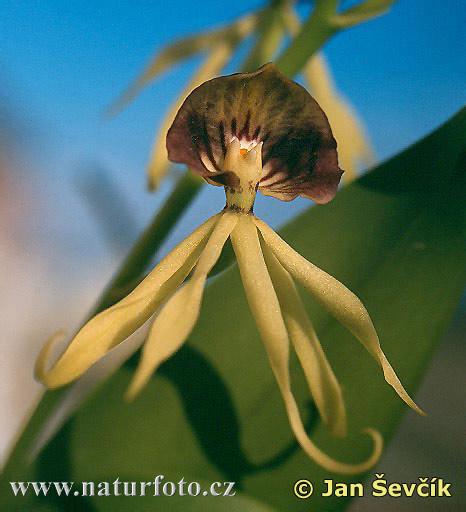 اغرب الزهرة  Orchid--hormidium-cochleatum