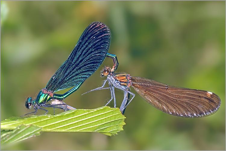 Avalon's gardens - Page 2 Libellules_calopteryx_virgo_accouplement_1
