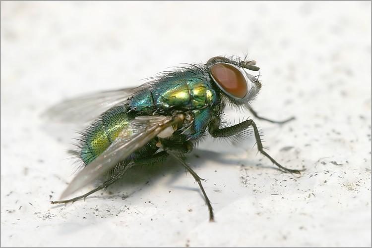 Envahi de mouches depuis plusieurs mois ... besoin d'aide Mouche_verte