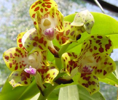 Hoa gieo tứ tuyệt 3 - Page 5 Vandopsis_parishii400