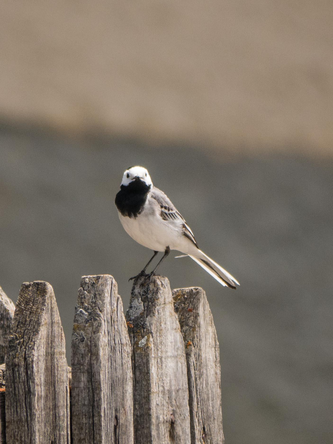 Quelques oiseaux du Queyras Bergeronnette-grise