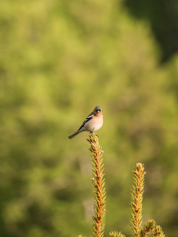 Quelques oiseaux du Queyras Pinson-des-arbres