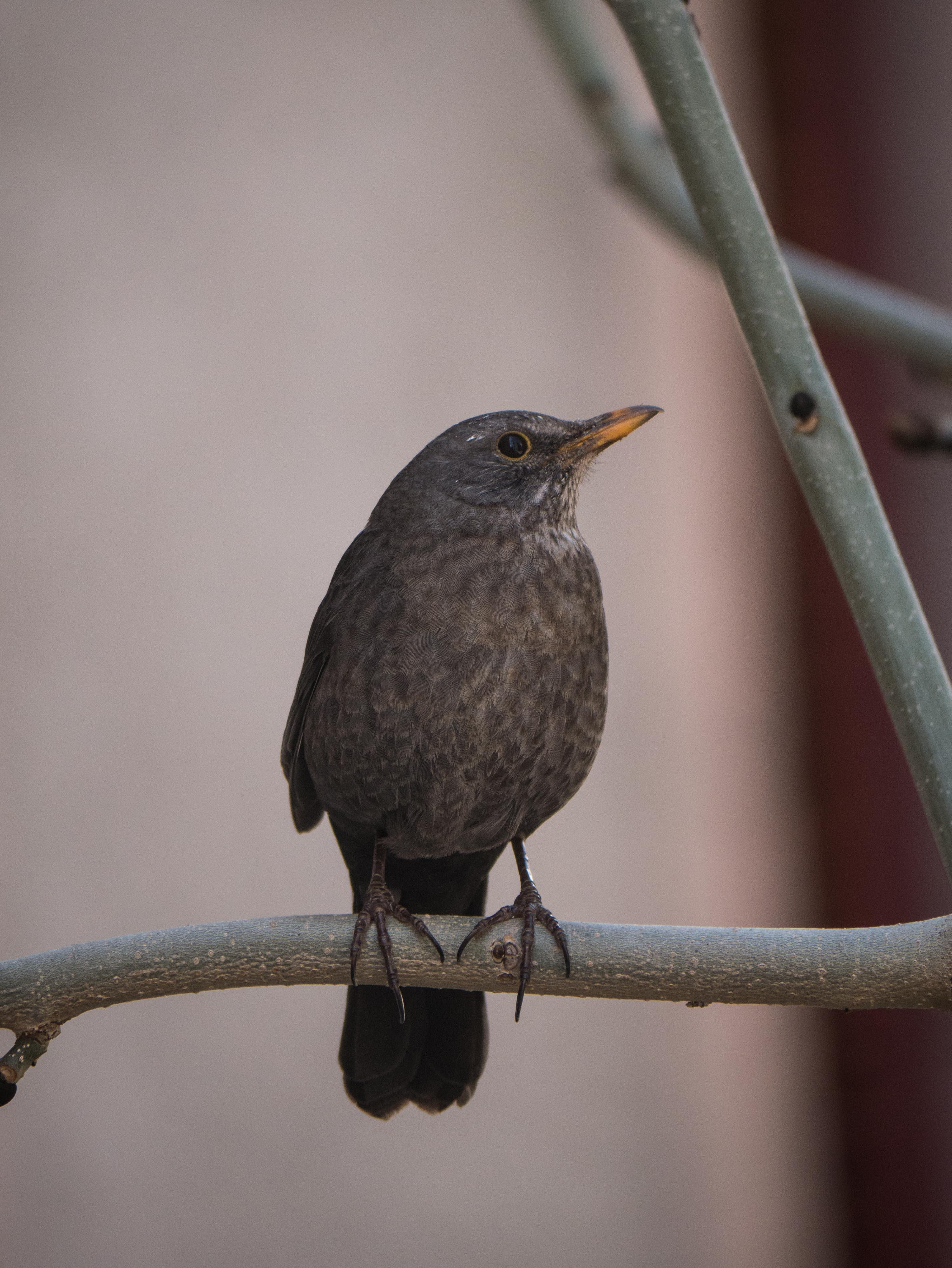 Quelques oiseaux du Queyras Merle-noir