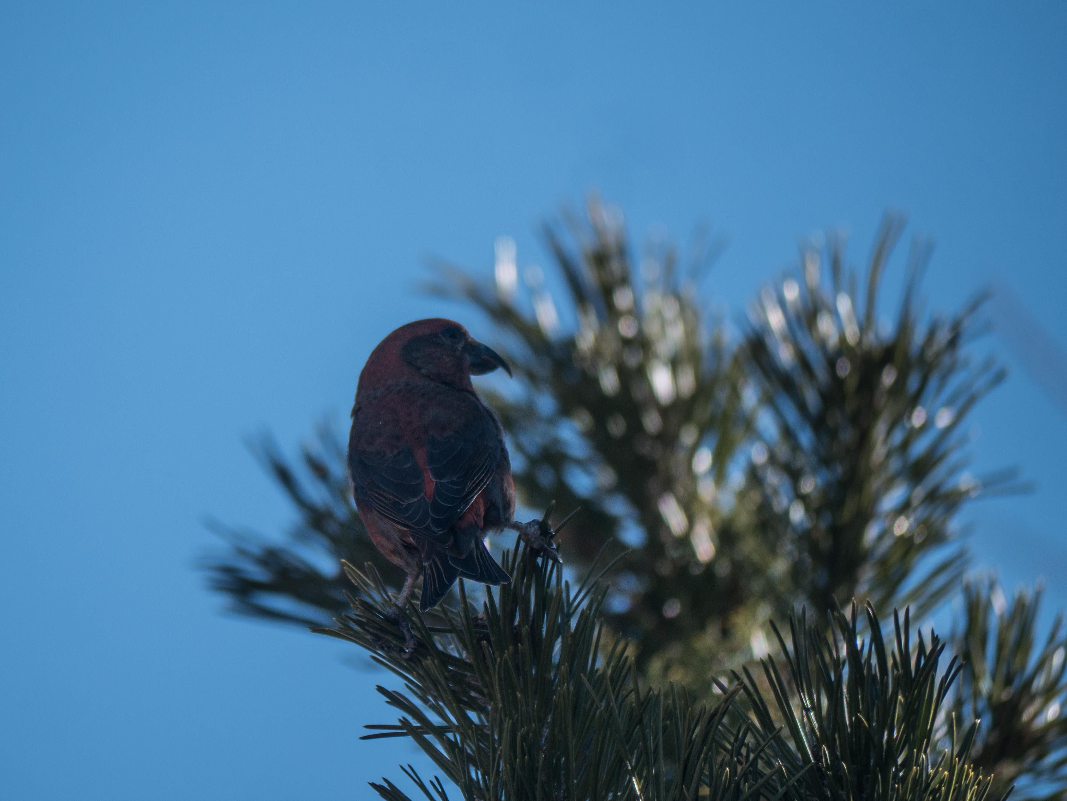 Quelques oiseaux du Queyras Bec-croise%CC%81