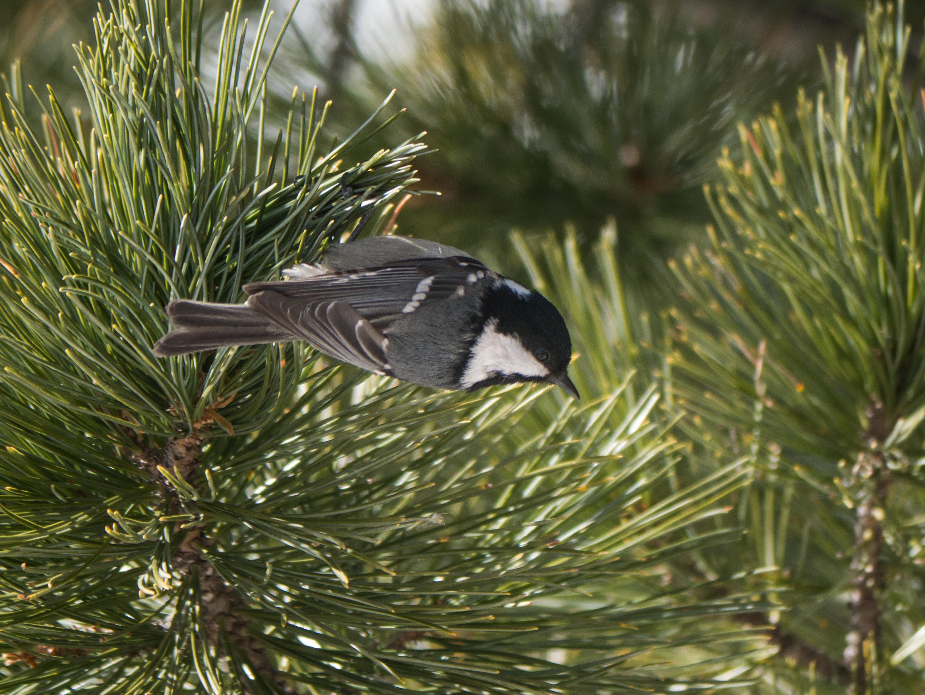 Quelques oiseaux du Queyras Me%CC%81sange-noire