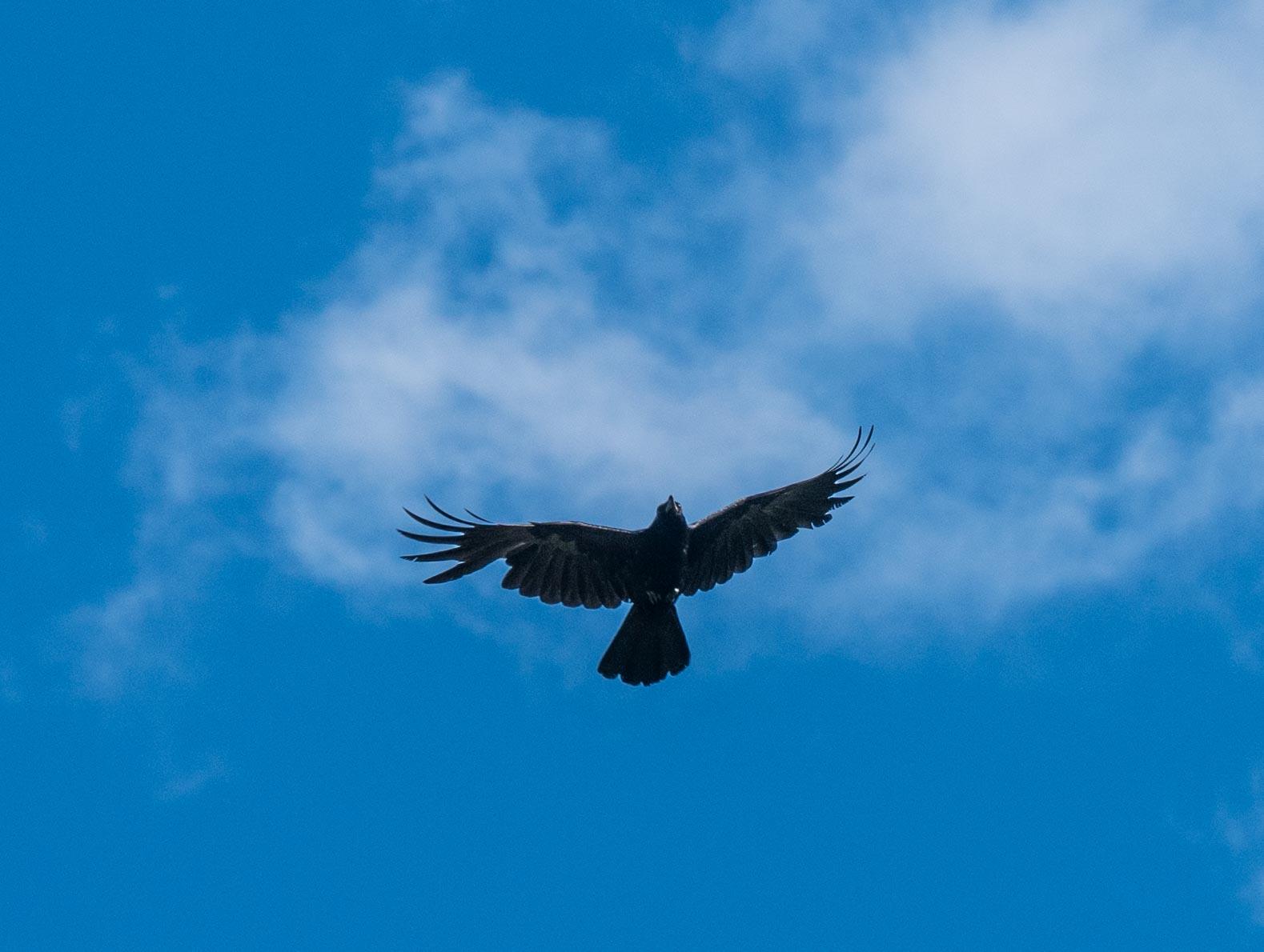 Quelques oiseaux du Queyras 1120602