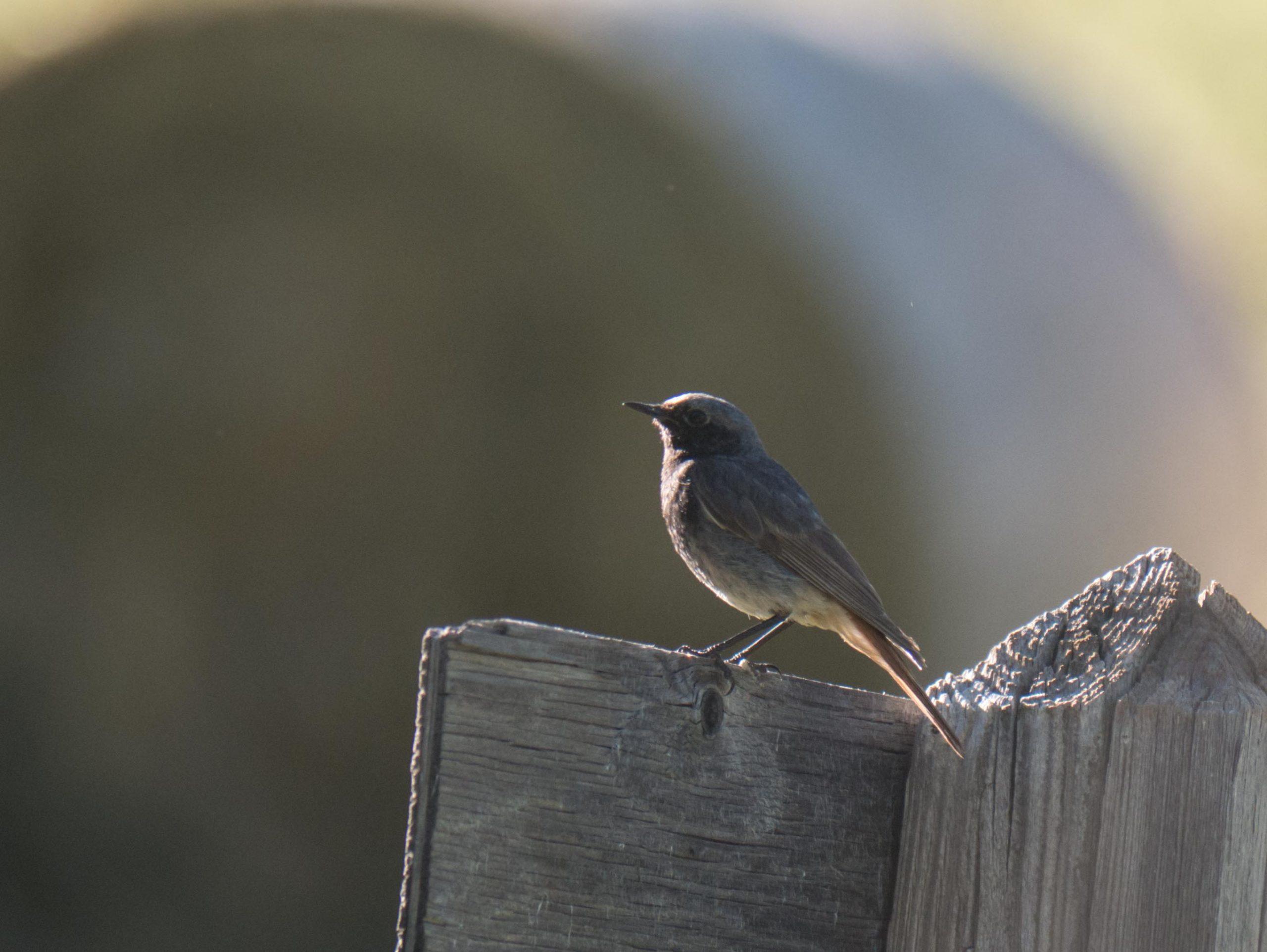 Quelques oiseaux du Queyras Rougequeue-noir-3-1-scaled