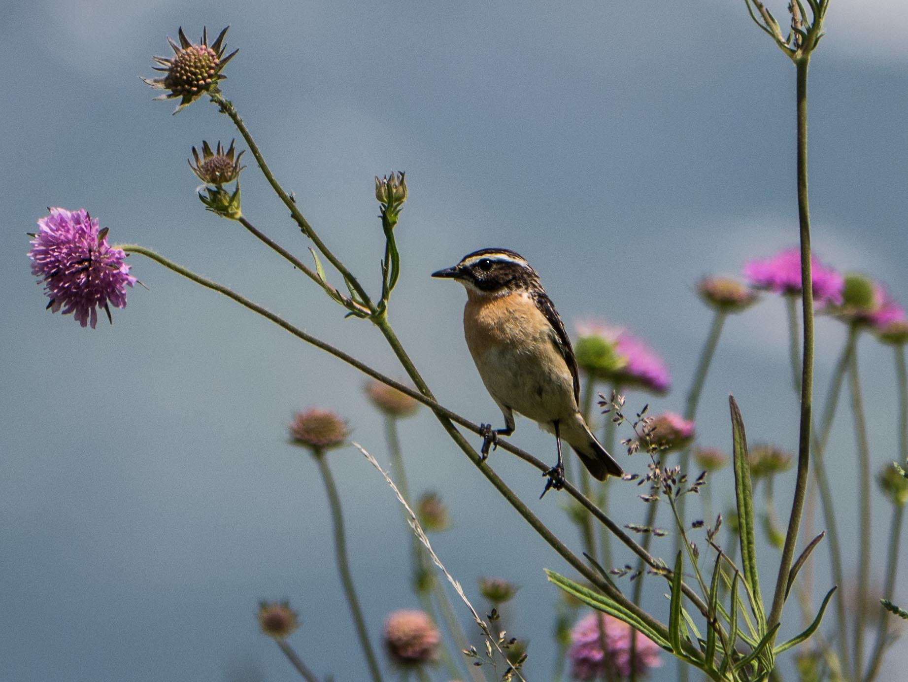 Quelques oiseaux du Queyras Tarier-des-pre%CC%81s