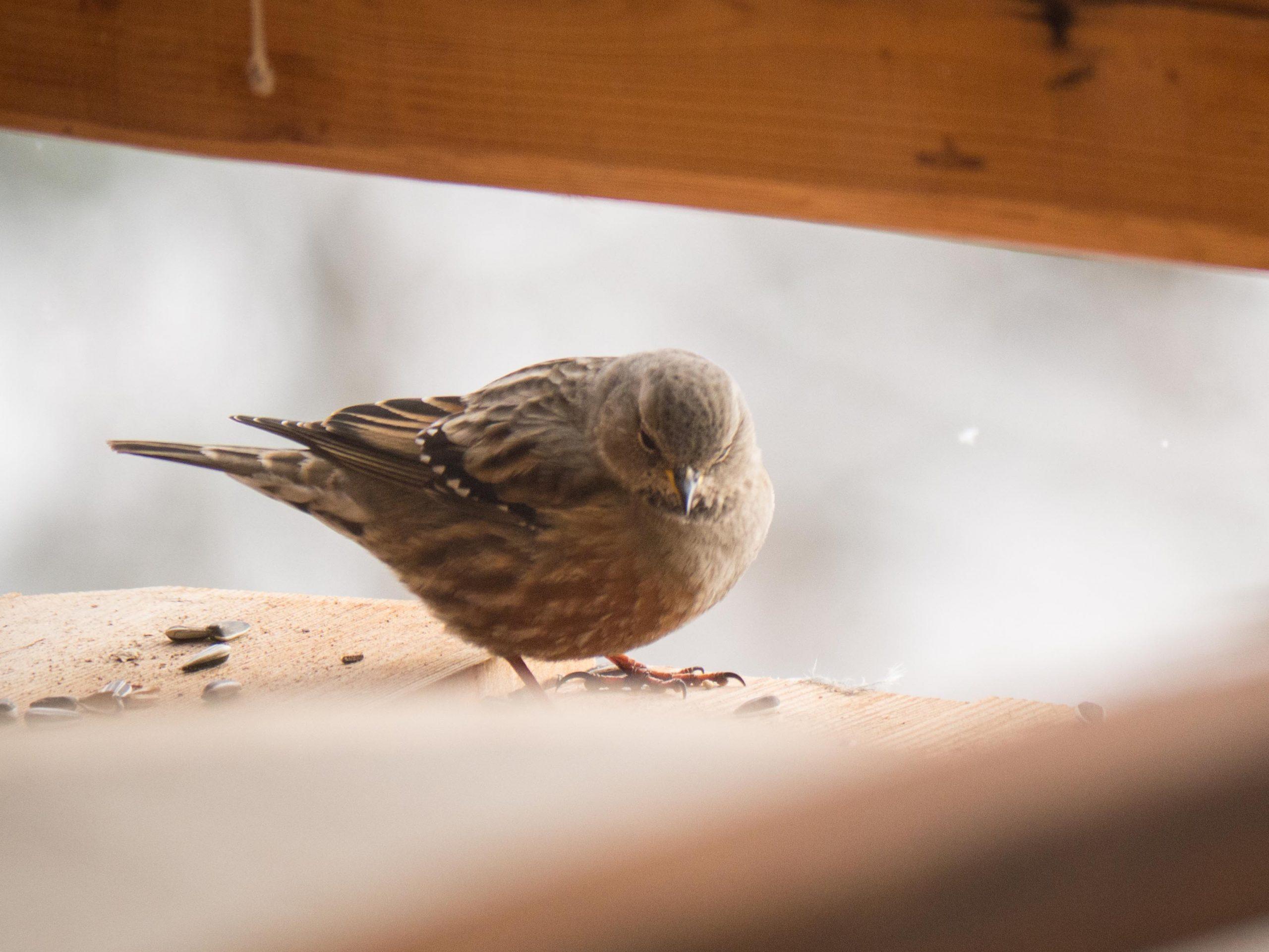 Oiseaux du Qeyras en hiver Accenteur-alpin-2-scaled