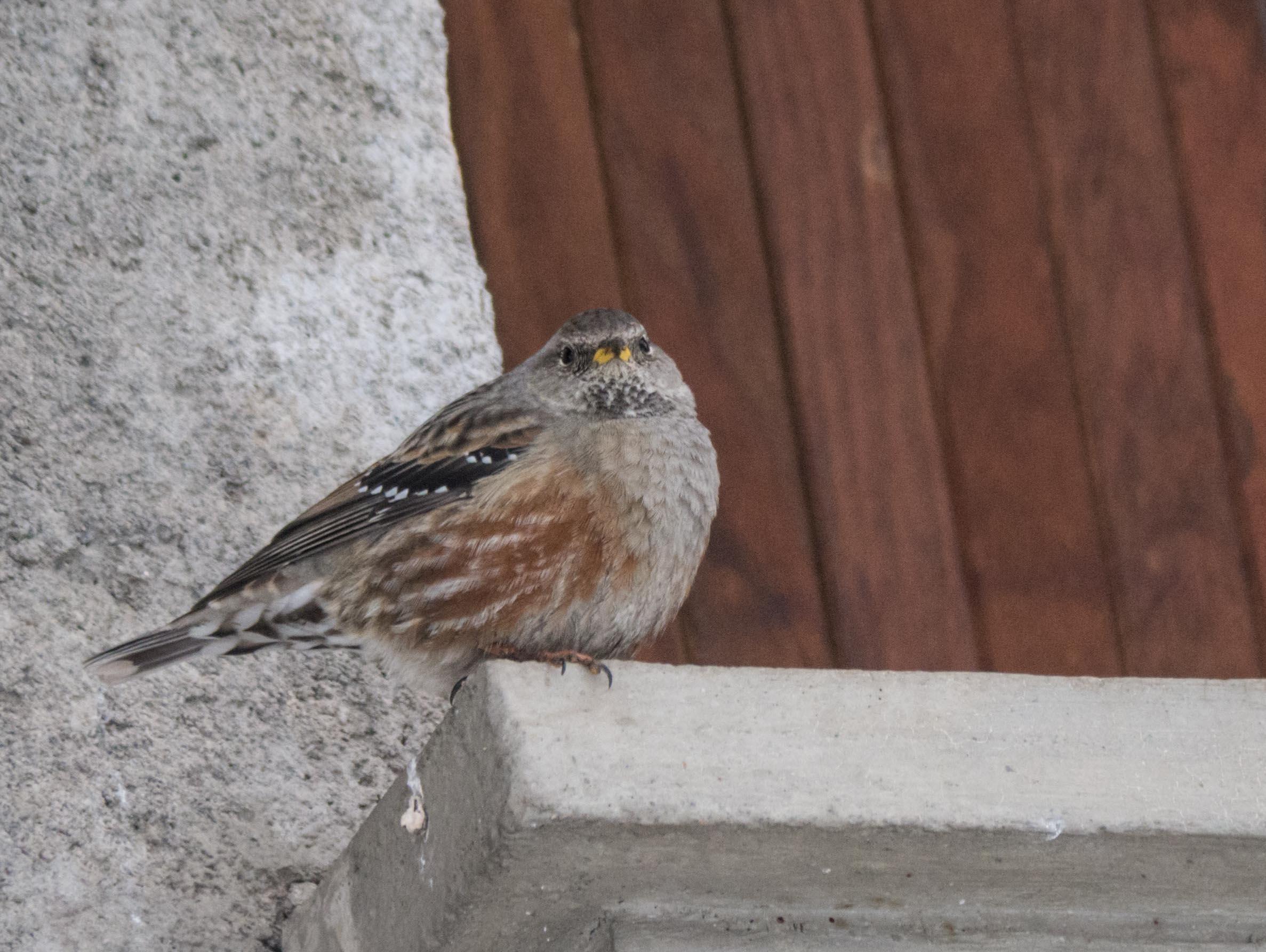 Oiseaux du Qeyras en hiver Accenteur-alpin-3