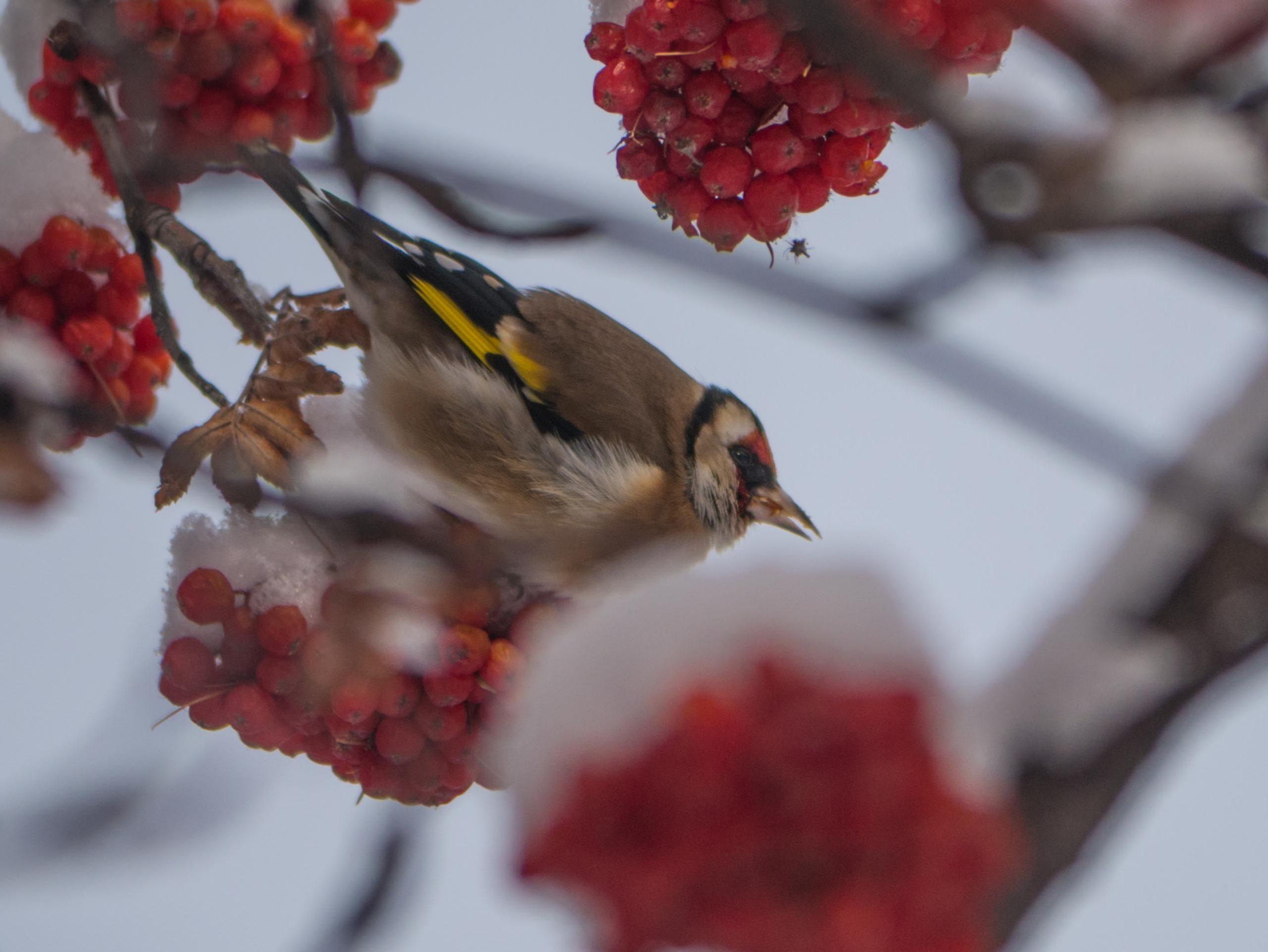 Oiseaux du Qeyras en hiver Chardonneret-e%CC%81le%CC%81gant-scaled