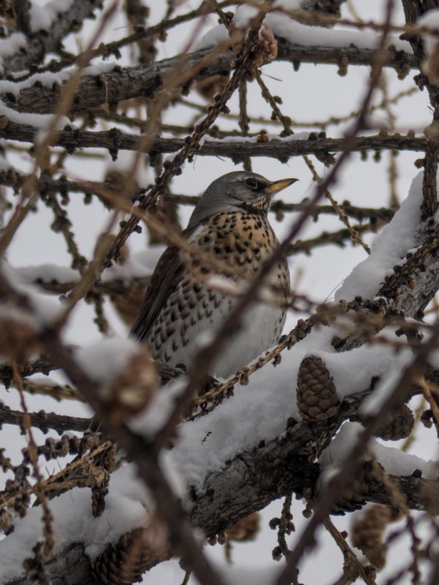 Oiseaux du Qeyras en hiver Grive-lithorne