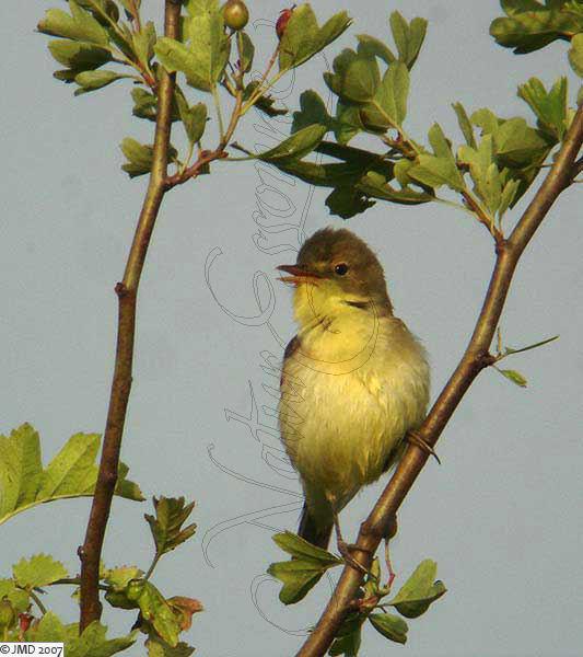 un ptit oiseau - ajonc - 30 mars trouvé par Martin JMD-Hypolais-2