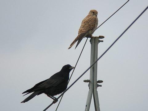 Falconiformes. sub Falconidae - sub fam Falconinae - gênero Falco - Página 3 Falco_tinnunculus1