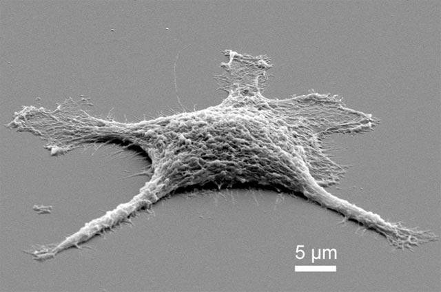 Des scientifiques du laboratoire national de Sandia (Etats-Unis) et de l'Université du Nouveau-Mexique sont parvenus à créer une cellule zombie Zombie_silice