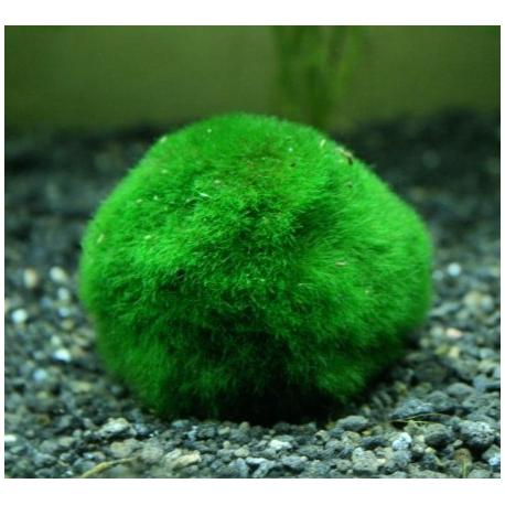 [résolu]aquarium 45 litres - Page 2 Cladophora-boule