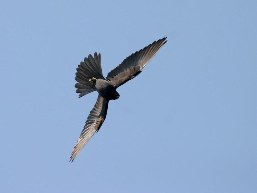 Falconiformes. sub Falconidae - sub fam Falconinae - gênero Falco 2702_ElenoraBIG01