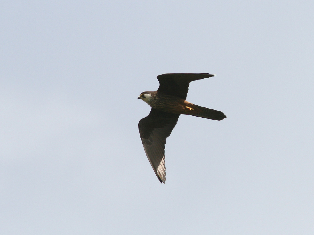 Falconiformes. sub Falconidae - sub fam Falconinae - gênero Falco 28228_UU_15464_IMG_4445-j-1